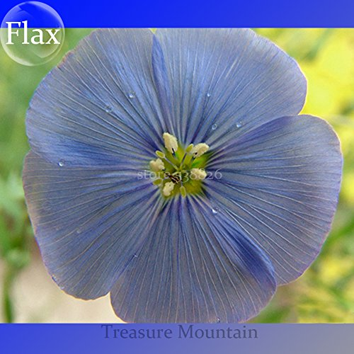 Bleu Rare Géant & Light Blue Flax Hybird Seeds, Professional Pack, 100 graines / Pack, Jardin en plein air vivaces Fleurs