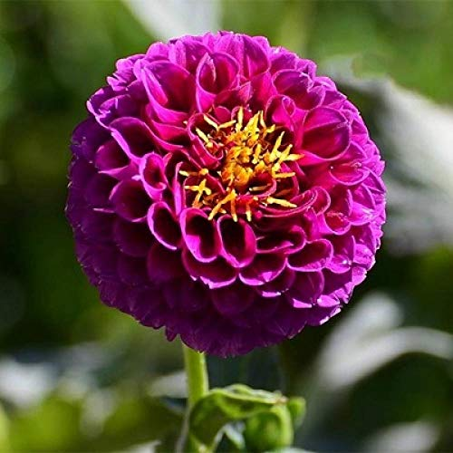 Aerlan Couleur Riche graines,Bulbes de Fleurs de Dahlia dans Le Pot de Jardin-U_1 Plus Grand,Jardin Graines
