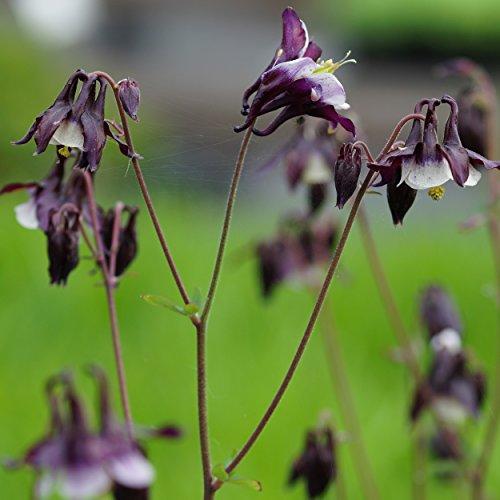 Blumixx Stauden Aquilegia vulgaris 'William Guiness' – Akelei im 0,5 Liter Topf schwarzpurpur mit weiß blühend