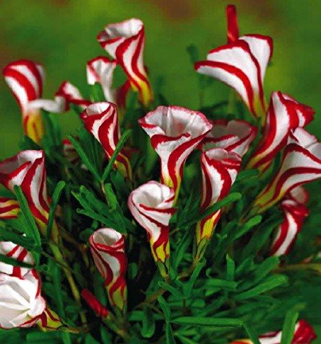 Oxalis bulbes de fleurs couleur rotatif ampoules Oxalis Fleurs rares du monde pour Garden Home Plantation Fleurs Semillas TAILLE: NO 4
