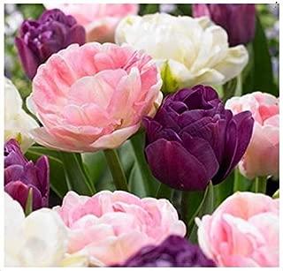 10 Double Late Mixture Tulip Bulbs - Tulipa Double Late