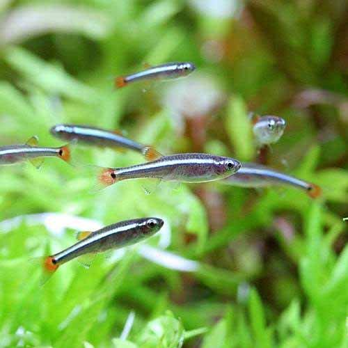 (熱帯魚)アカヒレ Sサイズ(5匹) 本州・四国限定[生体]