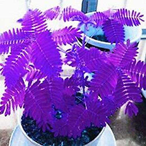C-LARSS 100Pcs Verschiedene Farbe Mimosa Pudica Samen, Garten Bonsai Topfpflanzen Home Decor Lila Mimosa Pudica #