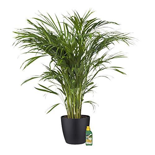 Planta de interior – Palma Areca en maceta negra + 250 ml de fertilizante como un conjunto – Altura: 100 cm