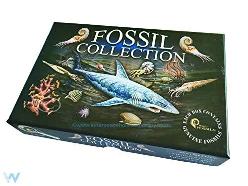 Britische Fossilien Fossil Auswahl Box Ammonit Haifisch Zähne Trilobit Krinoid Brachiopod Nautiloid