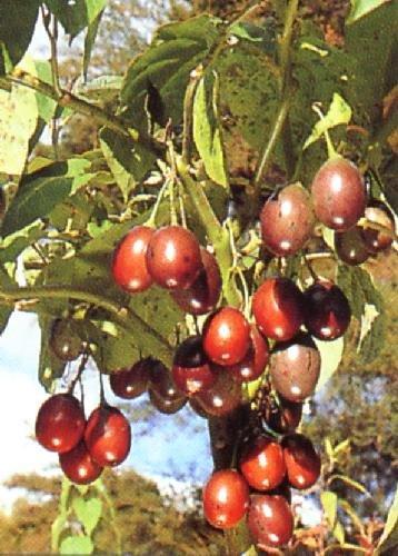 TROPICA - Tropischer Tomatenbaum / Tamarillo (Cyphomandra betacea) - 100 Samen
