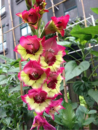 Gladiolus Bulbs Perennial Gift Magical Fragrant Courtyard Pleasant Strong Roots Gardening,4 Gladiolus Bulbs