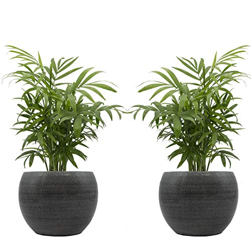 Zimmerpalmen-Duo mit handgefertigtem Keramik-Blumentopf
