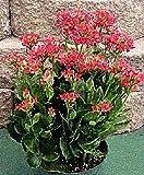 Pase Seeds Kalanchoe Tetra - Semilla volcánica