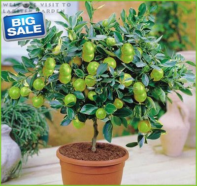 (Citron * Ambizu *) végétales bon marché Lemon Tree Seeds - 100pcs / lot (Lemon AA)