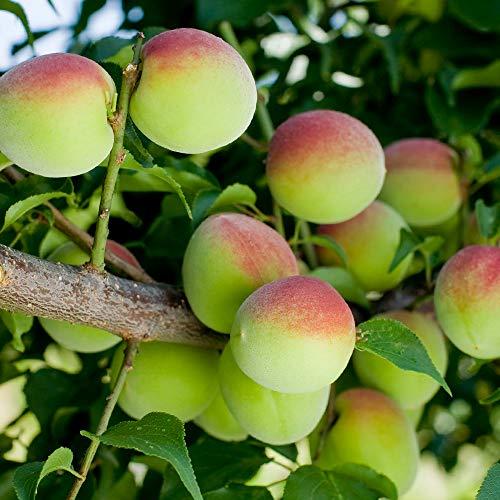 梅の苗木 品種:南高梅(なんこうばい)【品種で選べる果樹苗木 2年生 接木苗 15cmポット 平均樹高:60cm/1個】(ポット植えなのでほぼ年中植付け可能)豊産で、日本で最も栽培の多い品種です! フルーティーで香り高く、果肉が厚く柔らかいのが特徴で、特に梅干しに向いています。 実は日に良く当てると紅色に変わっていきます。 2月上旬~下旬にきれいな花を咲かせるので、観賞用にも楽しめます。 自家結実性が弱いので、受粉樹があった方がいいです。 花粉が多いので、他の梅の受粉樹に向いています。【自社農場から新鮮苗直送!!】
