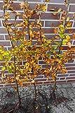 50st. Hainbuchen 80-120cm Heckenpflanzen Carpinus betulus Hecke