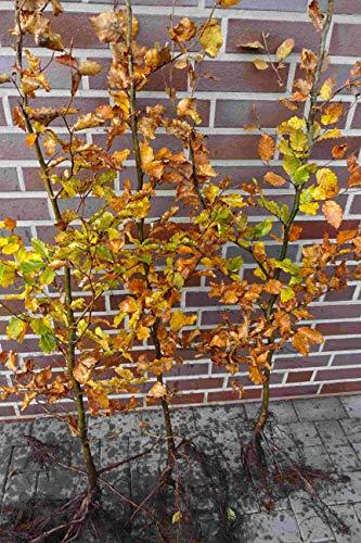 50st. Hainbuchen 80-120cm Heckenpflanzen Carpinus betulus Hecke Wurzelware