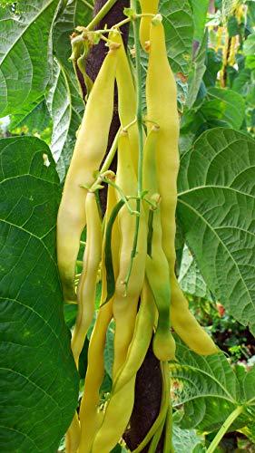 Seedeo® Stangenbohne Golden Gate (Phaseolus vulgaris L.) 30 Samen BIO
