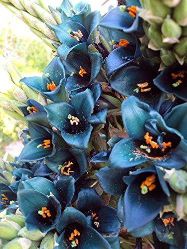 Puya Alpestris, Sapphire Tower, wunderschöne Blühte, 10 Samen