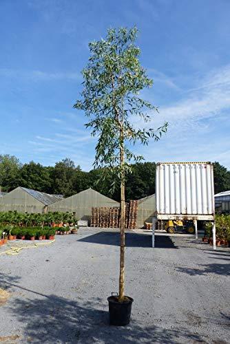 XXL Eucalyptus ROSTRATA 500 cm Stamm Eukalyptusbaum Pflanze winterhart