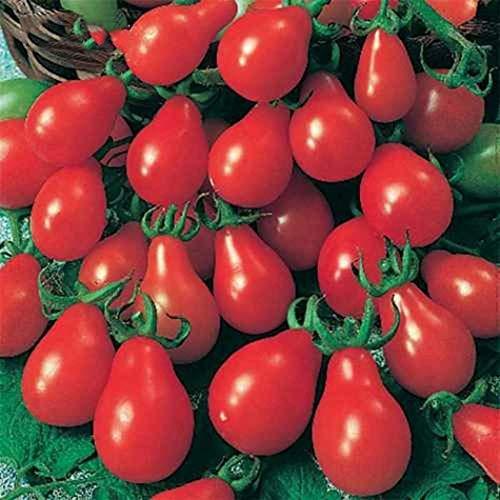 TOMASA/Seedhouse Semillas de tomate p/úrpura semillas de vegetales bonsai Semillas de tomate p/úrpura perenne Semillas para huerto
