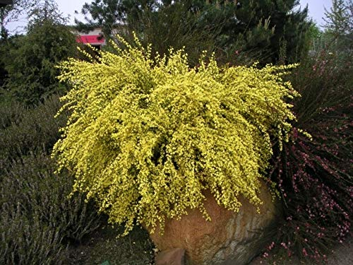 Cytisus praecox Allgold - Ginster Allgold - Elfenbeinginster - Edelginster - Besenginster - Schmuckginster