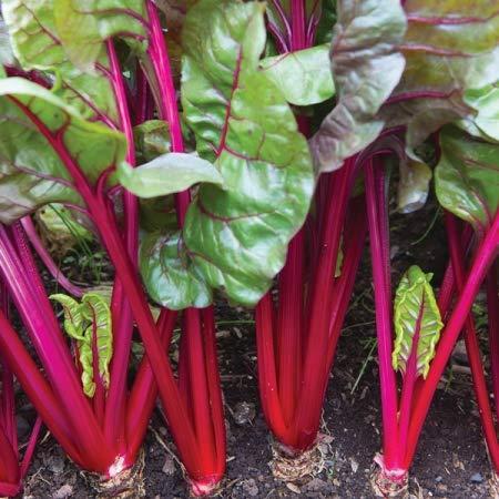 35 graines/Pack, Red Leaf betteraves semences meilleur jardin plantes potagères Semences
