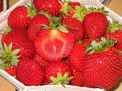 Erdbeerprofi - Erdbeere Malwina - 20 Erdbeerpflanzen - Junitragend - Erdbeersetzlinge - Erdbeergrünpflanzen (Pflanzzeit: August - September)