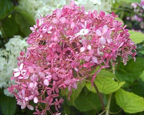 Ballhortensie Pink Annabelle - Hydrangea arborescens Pink Annabelle