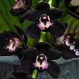 WuWxiuzhzhuo 100seltene Schwarz Cymbidium faberi Orchidee Blume Samen