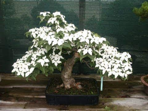 Bonsai Tree Seeds - Flowering Dogwood - 20 Seeds - Beautiful Flowering Bonsai Tree Seeds for Planting