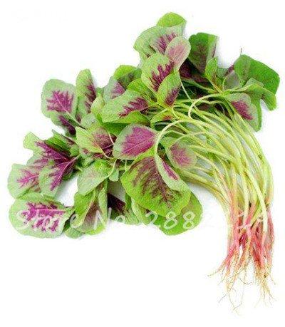 Herb Amaranthus Tricolor Seeds 50 Pcs graminée Semente non Ogm végétale comestible Bonsai Plante en pot sain sucré 13