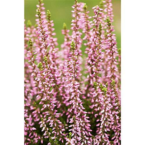 Calluna, Winterharte Knospenheide Erika Gardengirls® - rosa - in Gärtnerqualität - 11 cm