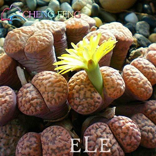 100 / Bag Mix Sukkulente Samen seltene schöne Lithops Topfbonsaipflanzen Samen für Heim & Garten Blumentöpfe Pflanzstein: Grün