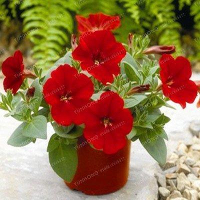 Escalade Pétunia Graines de fleurs Jardin Bonsai Balcon Petunia hybrida semences de fleurs de 20 espèces végétales Bonsai facile à cultiver 100 Pcs 10