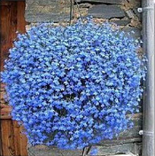 ScoutSeed Lobelia Sky Blue Cascade 200 Seeds Schöne Bodendecker Steingarten
