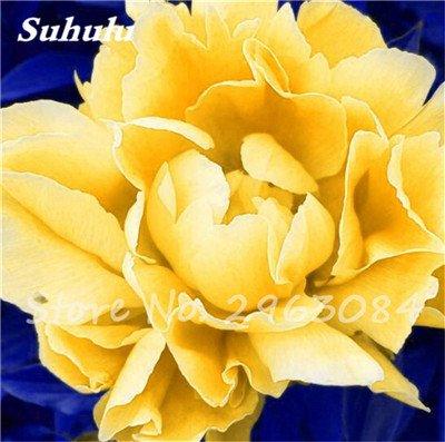 Vente 10 pièces/sac rares Couleur Pivoine Graines Heirloom Sorbet robuste Graines Pivoine Bonsai Pot de fleurs pivoine Graines de fleurs Jardin Plante 17