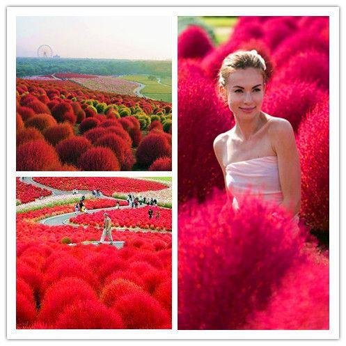 Semences à gazon Kochia Scoparia Seeds Red Garden ornemental Facile 100pcs Perennial cultiver des plantes Herbe Buisson Ardent / Bonsai