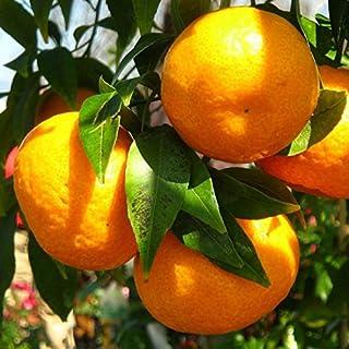 Mejor Mandarino Arbol Frutal