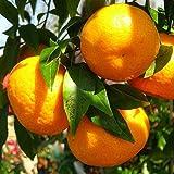 Mandarino - Maceta 22cm. - Altura total aprox. 1'3m. -...