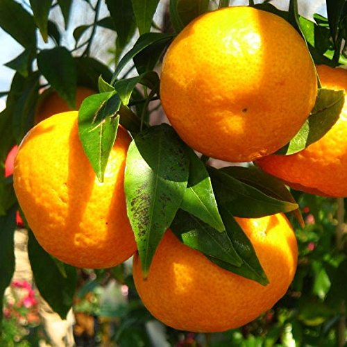 Mandarino - Maceta 22cm. - Altura total aprox. 1'3m. - Planta viva - (Envíos sólo a Península)