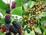 80+ Morus Mulberry Fruit Tree Seeds Rare Edible Kinds Bonsai Plants Garden