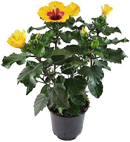 Fangblatt - Hibiskus rosa-sinensis - Zimmerpflanze mit auffälligen orangen Blüten - außergewöhnliche Kübelpflanze