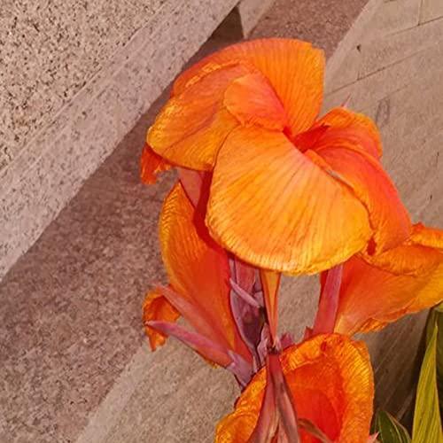 C-LARSS 20 Piezas/Bolsa De Semillas De Canna, Plantas De Semillero De Plantas Florales Perennes Ornamentales Para Exteriores naranja