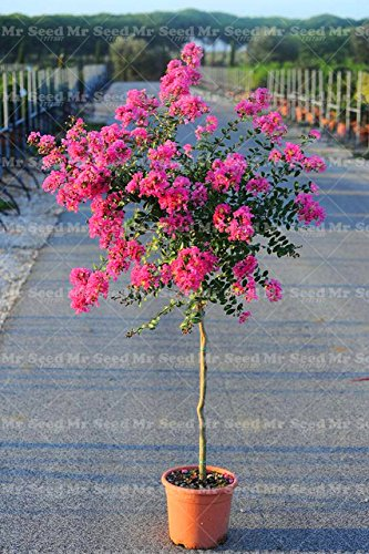 Green Seeds Co. 100PCS Crape Myrtle -Shrub Lagerstroemia perenne fiore bonsai pianta cortile mirto fiori casa giardino pianta: 3