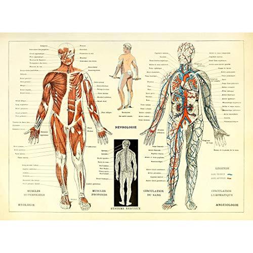 Cuadros Lienzo Anatomía Humana Ilustración de Referencia C