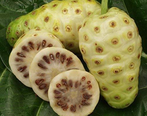Gran venta ! 20 semillas/pack Semillas Semillas NONI Morinda citrifolia deliciosa de la fruta del árbol de la semilla 5pcs - Arcis Nuevos