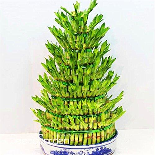Big S! DIY una casa de bambú buena suerte Semillas de bambú Dracaena en maceta también conocida como prósperosa torre - 100 semillas / bolsa,