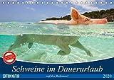 Schweine im Dauerurlaub auf den Bahamas! (Tischkalender 2020 DIN A5 quer)