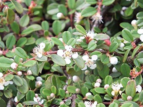 1 x Cotoneaster dammeri 'Frieders Evergreen' (Bodendecker)