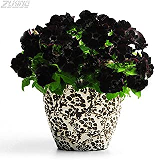 100Pcs Black Petunia Flowers Seeds Bonsai Rare Beautiful Perennial Hybrida Seed Potted Plants That Attract Butterflies