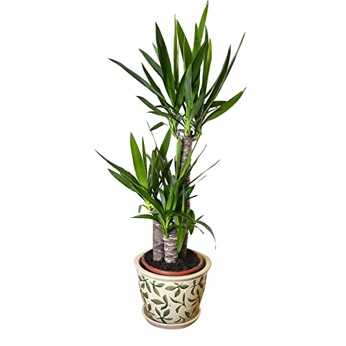 Tall Indoor Plant: Amazon.co.uk on house plant with peach blooms, house plant with jagged leaves, house plant with curly leaves, plant with spikes on leaves, indoor plants with long leaves, house plant identification leaves, house plant with brown leaves, house plant with green and yellow variegated leaves, house plant with bumpy leaves, house plant with waxy flowers, house plant with striped leaves, house plant with heart shaped leaves, house plant spiky green yellow, house with pink and green plant leaves, house plants with colorful leaves, house plant with fuzzy leaves, house plant with pointed leaves, house plant with big leaves, indoor plants with colorful leaves,