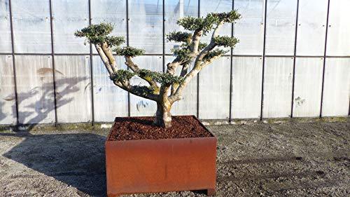 genau dieser Pon Pon im Cortenstahl Pflanzkübel 120x120 cm, uriger Olivenbaum, knorrige Olive winterhart