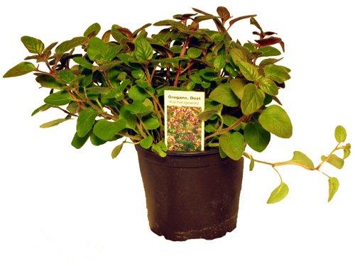Oregano,1 frische Küchenkräuter Pflanze